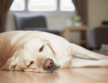 床暖房の床で昼寝する犬の画像
